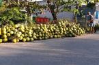 Ảnh hưởng dịch Covid-19, giá dừa Xiêm giảm 30%