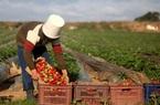 Nông nghiệp châu Âu khủng hoảng nhân lực vì đại dịch Covid-19