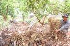 Vụ 2.000 cây sầu riêng chết khô: Phát hiện những vi phạm khủng khiếp của công ty phân bón