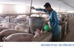 Tiếp tục nhập khẩu lợn để nhân giống, phục vụ tái đàn từ nay đến cuối năm