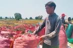 Nông dân Phú Thiện được mùa đậu xanh