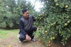 Quảng Ninh: Ứng dụng tưới phun tự động, nông dân trồng quýt sai lúc lỉu quả