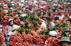 Sắp xúc tiến tiêu thụ quốc tế trái vải Bắc Giang, 300 thương lái Trung Quốc đăng kí vào mua