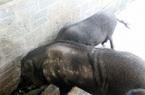 """Cho lợn rừng ăn """"chè khổng lồ"""", lãi 300 triệu đồng mỗi năm"""
