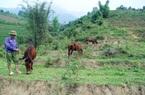 Nuôi ngựa - hướng đi mới của ngành chăn nuôi Bát Xát