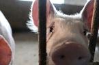 Vua thịt lợn Trung Quốc bị tàn phá vì trúng đòn kép