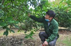 """Yên Bái: Vườn trồng """"lung tung đủ thứ"""", lão nông đổi đời, thu 300 triệu/năm"""
