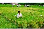 Lúa hè thu tốt bời bời, giá gạo xuất khẩu cao nhất trong 2 năm