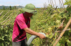 Bí xanh 2.000 đồng/kg không ai mua, dân tính mang về nấu nước uống
