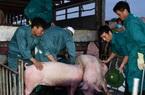 Hôm nay 12/6 chính thức được nhập thịt lợn sống từ Thái Lan, giá chắc chắn rẻ hơn trong nước