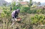"""Đắk Lắk: Dân khốn khổ vì trồng cây nhàu, chết dở khi doanh nghiệp """"lặn"""" mất tăm"""