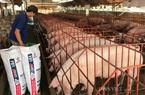 Giá heo hơi hôm nay 15/6: Ồ ạt đăng kí nhập khẩu gần 1 triệu con lợn, giá giảm mạnh