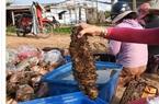 Ngắm những loài hải sâm đắt giá của xứ đảo Phú Quý