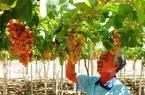 Ninh Thuận: Nhiều nông dân thành tỷ phú, có hộ thu nhập đạt hàng trăm triệu/người/năm