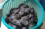 Cà Mau: Bị phạt 35 triệu đồng vì thu mua, vận chuyển 1,3 tấn hải sâm không rõ nguồn gốc