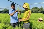 """Đắk Lắk: Cây đàn hương Ấn Độ quý hiếm như thế sao chuyên gia lại cảnh báo đừng để """"vỡ mộng""""?"""