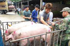 Giá heo hơi hôm nay 29/6: Dịch tả lợn châu Phi lan rộng, giá heo hơi tăng vượt 90.000 đồng/kg