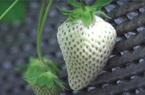 Sức hút kỳ lạ của dâu tây Bạch Tuyết giá gần 2 triệu đồng/kg
