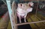 Doanh nghiệp chăn nuôi báo lãi 'khủng' nhờ giá heo hơi lập đỉnh