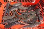 Kiếm trăm triệu đồng mỗi năm nhờ ương cá bớp giống