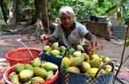 """ĐBSCL: """"Nữ hoàng trái cây"""" giá đang rơi chạm đáy, nhà vườn hái cho cá, ốc ăn"""