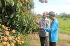 Đồng Tháp: Trồng nhãn quý, một nông dân hái 50 tấn trái/năm, lời 600 triệu đồng