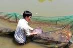 Đắk Lắk: Loài cá rô cờ quý hiếm cỡ nào mà ở đây thuần hoá và nuôi nhân giống?