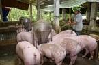 Giá lợn hơi giảm không đáng kể, dân phải ăn thịt lợn đắt, đoàn kiểm tra liên ngành vào cuộc