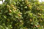 Nhiều gia đình thoát nghèo nhờ thuần hóa cây mọc dại