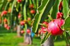 Lãi 700 triệu đồng mỗi năm nhờ trồng thanh long ruột đỏ