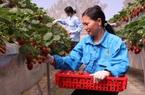 Từ vụ bắt 3,5 tấn dâu tây nghi hàng Trung Quốc: Người dân tiết lộ bí quyết phân biệt