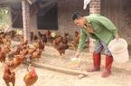 Quảng Ninh: Vay vốn nuôi thứ gà vàng như rơm, bán đắt hàng