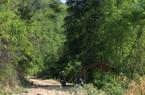 Châu chấu tre lưng vàng gây thiệt hại tại 8 tỉnh phía Bắc