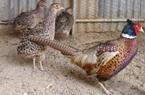 TT-Huế: Bảo tồn loài chim quý có quy cơ tuyệt chủng, thợ săn đặt bẫy bằng phanh xe đạp