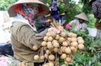 Hưng Yên: Bước vào chính vụ thu hoạch nhãn, giá nhãn đặc sản 50.000 đồng/kg