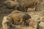 Thịt heo rừng tăng mạnh, giá 170.000 đồng/kg bán 1 con lãi 1,5 triệu đồng