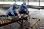 Nông nghiệp công nghệ cao: Hơn 3.000 tỷ đồng xây dựng Bạc Liêu thành trung tâm công nghiệp tôm cả nước