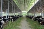 Quảng Ninh: Triển khai đề án khu nông nghiệp công nghệ cao chăn nuôi bò sữa Đầm Hà
