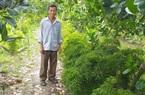 Hậu Giang: Trồng mít Thái chung vườn với đinh lăng, U70 hái thứ gì cũng bán ra tiền