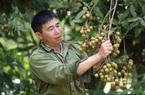 Bí quyết thu trăm triệu đồng của lão nông trồng nhãn