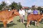 Thoát nghèo nhờ nuôi bò lai