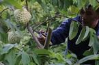 Trồng loại quả bán 1 trái bằng 10kg bí xanh, dân Lạng Sơn trúng đậm