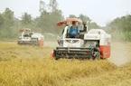 Chưa từng có: Gạo thơm xuất khẩu sang EU có giá hơn 1.000 USD/tấn