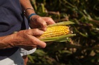 Nông dân Mỹ cũng không tránh khỏi tình trạng 'được mùa, mất giá'