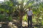 Phú Yên: Liều trồng dừa xiêm lùn, cây thấp tè đã ra trái quá trời, chưa quảng cáo thương lái đã đòi mua