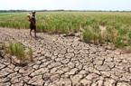Nông nghiệp bị ảnh hưởng bởi hạn hán và xâm nhập mặn