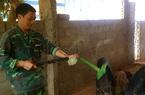 Lạng Sơn: Tái đàn lợn thận trọng, cả đàn da hồng lông mượt, nhiều chủ trại lãi lớn