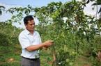 Đắk Lắk: Giá chanh dây chỉ còn 2.000 đồng/kg, lỡ trồng ồ ạt rồi, đành để rụng đầy gốc