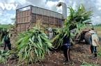Trồng bắp lấy thân, hướng đi mới cho nông dân ở Bà Rịa - Vũng Tàu