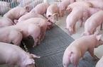 Ninh Bình: Tái đàn lợn, mức hỗ trợ tối đa với 1 chủ cơ sở chăn nuôi lợn là mấy trăm triệu đồng?